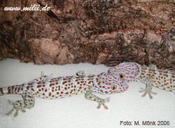 1913 • sarasins riesengecko • sarasin's roux s giant gecko